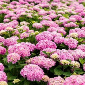 Hortensia - Hydrangea macrophylla Endless Summer The Original (rose)