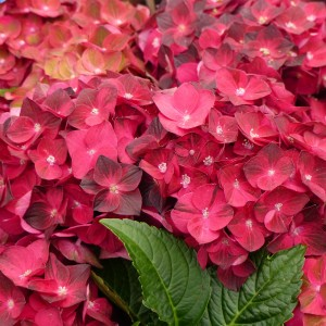 Hortensias - Hydrangea macrophylla Magical Ruby Tuesday