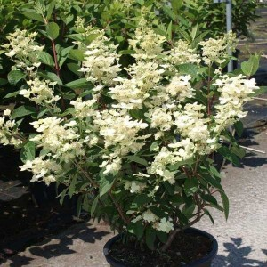 Hortensia - Hydrangea paniculata Early Sensation