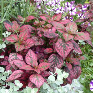 Hypoestes Hippo Red Mini-mottes