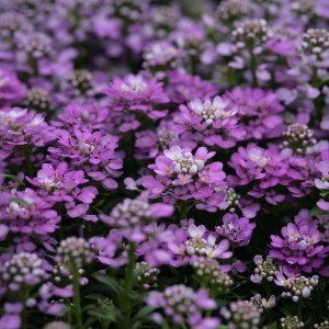 Iberis sempervirens Absolutely Amethyst - Corbeille d'argent