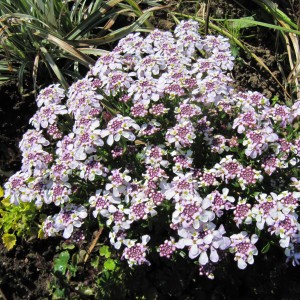 Iberis sempervirens Pink Ice® - Corbeille d'Argent