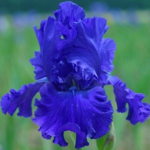 Iris germanica Blue Crusader