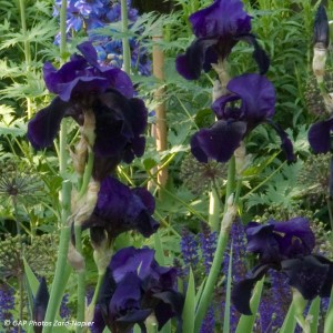Iris germanica Old Black Magic