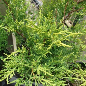 Juniperus pfitzeriana Old Gold - Genévrier