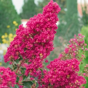 Lagerstroemia indica Summer Charm Tonto - Lilas des Indes