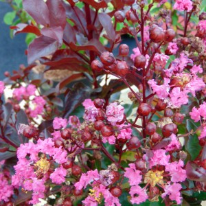 Lagerstroemia indica Rhapsody in PINK - Lilas des Indes
