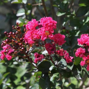 Lilas des Indes Pink Velours - Lagerstroemia indica