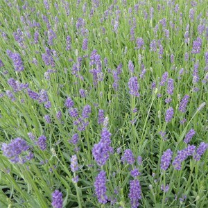 Lavandula angustifolia Essence Purple - Lavande officinale