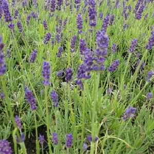Lavandula angustifolia Twickel Purple - Lavande officinale