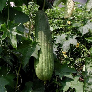 Luffa Cylindrica (Courge torchon, Eponge végétale)