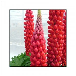 Lupinus West Country Red Rum® rose-rouge et blanc.