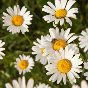 Matricaire romaine (Anthemis nobilis) - Camomille anglaise