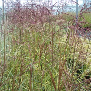 Miscanthus sinensis Silberspinne - Eulalie - Roseau de Chine