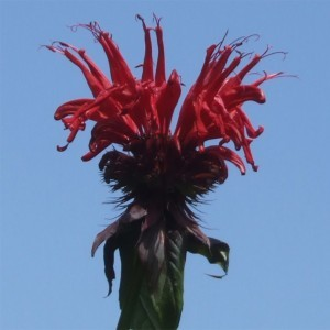 Monarda Jacob Cline - Bergamote rouge
