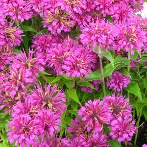 Monarde Purple Lace - Bergamote rose pourpré