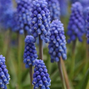 Muscari armeniacum Dark Eyes