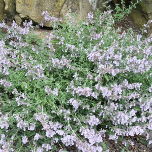 Nepeta racemosa Snowflake - Chataire à fleurs blanches