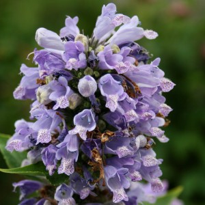 Nepeta subsessilis - Chataire subsessile