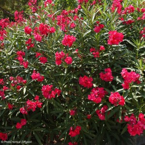 Laurier rose - Nerium oleander Rouge Double