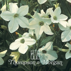 Nicotiana x Sanderae Fragrant Cloud