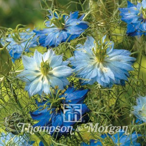 Nigella Damascena Moody Blues