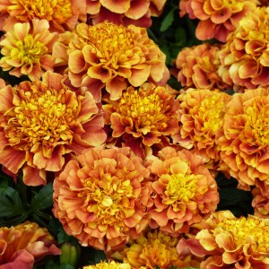 Graines d'oeillet d'Inde Strawberry Blonde - Tagetes (x) patula