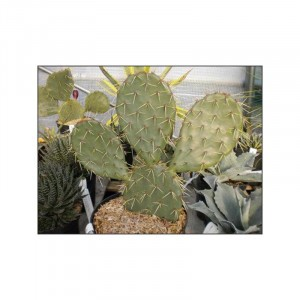 Opuntia Alta - Oponce