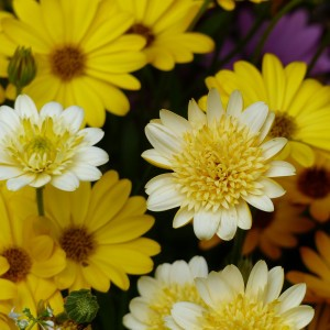 Osteospermum Summersmile Double Soft Yellow - Souci pluvial