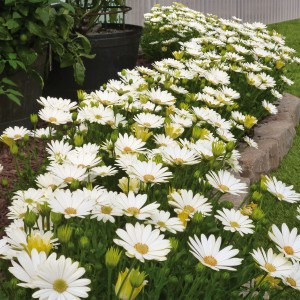 Osteospermum Voltage White - Souci pluvial