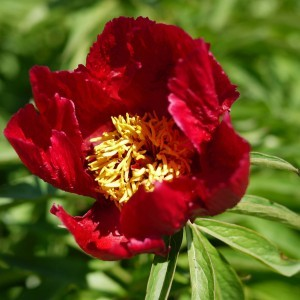 Pivoine Early Scout