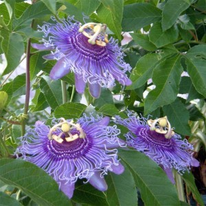 Passiflora Incense - Passiflore hybride.