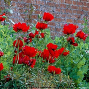 Pavot d'Orient, Papaver or. Beauty of Livermere