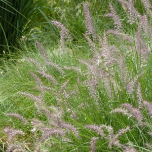 Pennisetum orientale Karley Rose - Herbe aux écouvillons roses