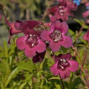 Penstemon Blackbird - Galane