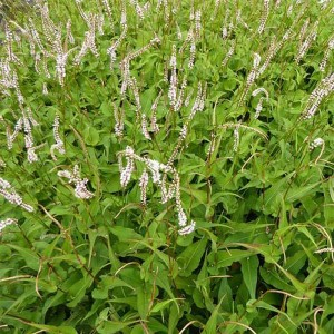 Renouée - Persicaria amplexicaulis White Eastfield