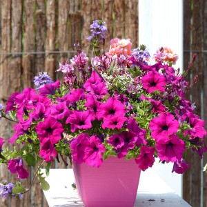 Petunia Surfinia Purple pourpre
