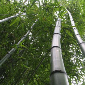 Phyllostachys vivax Huangwenzhu - Bambou géant