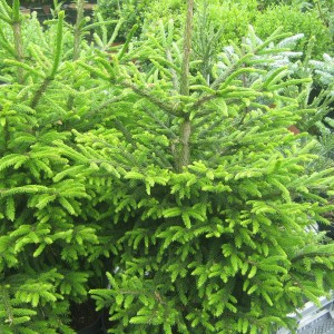 Picea orientalis Kenwith - Sapinette d'Orient