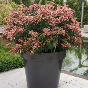 Andromède du Japon - Pieris japonica Passion