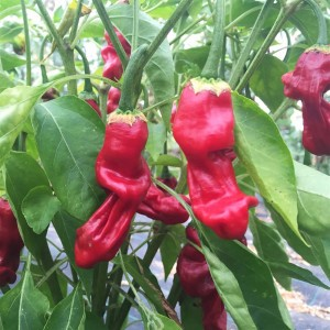 Piment Penis Rouge ou Peter Pepper Rouge NT - Ferme de Sainte Marthe