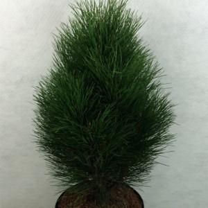 Pinus nigra Green Tower - Pin noir