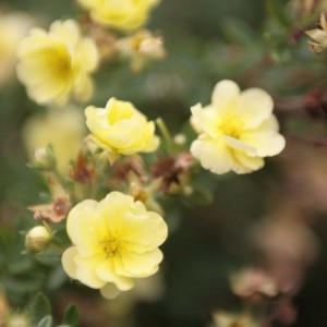 Potentille Lemon meringue - Potentilla fruticosa