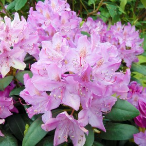 Rhododendron Roseum Elegans - Grand rhododendron.