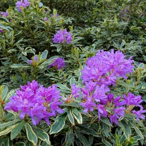 Rhododendron pont. Variegatum - Rhododendron panaché.