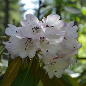 Rhododendron rex - Grand rhododendron