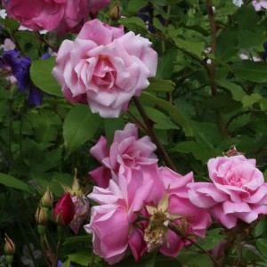 Rosier ancien Old Blush - Rosa (x) chinensis