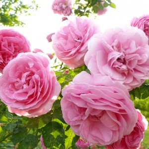 Rosier Ancien Louise Odier - Rosa (x) Bourbon