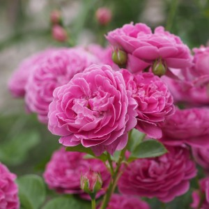 Rosier Blue Boy ® - Rosa (x) polyantha
