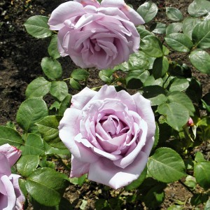 Rosier Blue Girl® (Sautari)